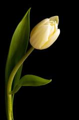 Single White Tulip Flower Isolated on Black Background