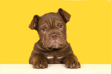 Cute old english bulldog puppy holding a white board looking at camera on a yellow background