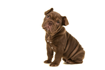 Cute old english bulldog puppy looking at camera sitting isolated on a white background seen from the side
