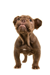 Standing adorable old english bulldog puppy looking up isolated on a white background with cutest expression