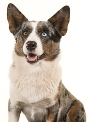 Portrait of a odd eyed Welsh corgi looking away isolated on a white background with mouth open in a vertical image