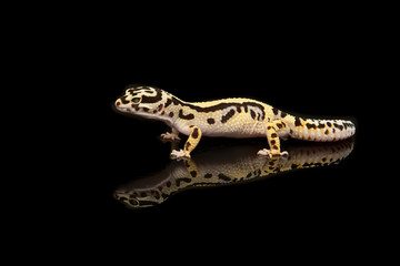 Common leopard gecko with reflection on a black background