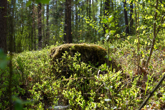 Woodland. Stump by surrounded by trees and grass.