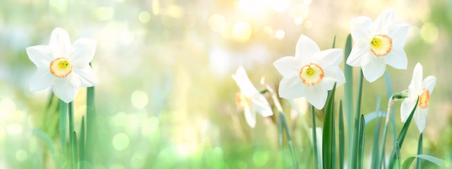 Photo sur Toile Narcisse beautiful gentle green spring panorama background with daffodils, bokeh effects. Daffodil floral spring background. Easter Spring Flowers, Mother's Day gift. elegant Springtime green scene. banner.