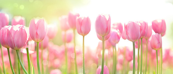 Foto op Plexiglas Tulp beautiful pink Tulip on blurred spring sunny background. bright pink tulip flower background for spring or love concept. beautiful natural spring scene, texture for design, copy space. banner