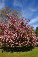 Beautiful pink cherry blossoms (sakura) on sunny blue sky, cherry tree