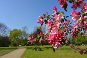 blooming Prunus cerasifera in a park close up branch