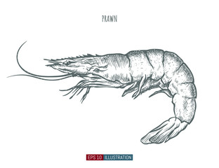 Hand drawn prawn isolated. Engraved style vector illustration. Template for your design works.
