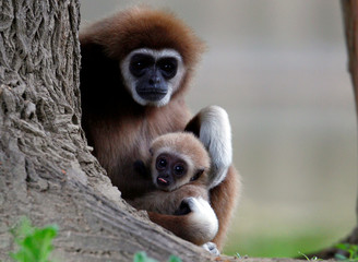 A first white-handed gibbon infant born at the Skopje Zoo is seen with his mother in Skopje