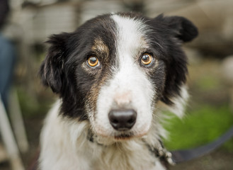 An old, senior dog at Border Collie rescue who was adopted after being photographed