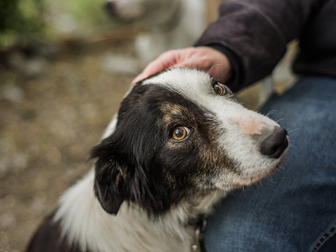 An old, senior dog at Border Collie rescue, who was adopted after being photographed, being pet by his foster parent.