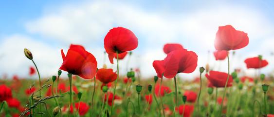 Fotobehang Poppy Wild poppy flowers on blue sky background.