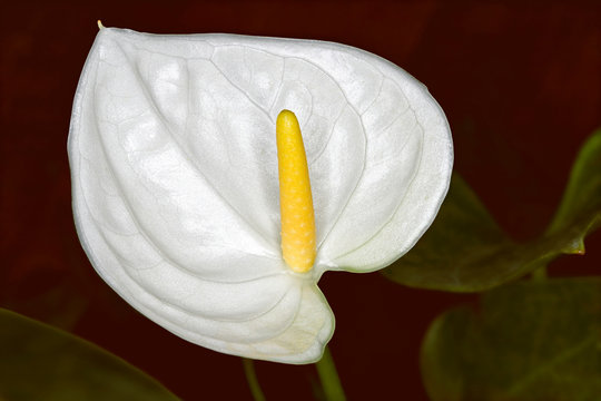 A beautiful Peace lily with a deep red background in closeup