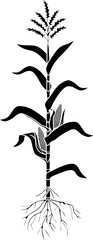 Black silhouette of corn (maize) plant with leaves, root system, ripe fruits isolated on white background