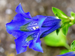 beautiful Gentiana Clusii flower close up