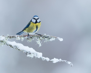 Wall Mural - Blue Tit perched on snow covered branch with grey/blue background.  Taken in the Cairngorms National Park, Scotland.