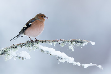 Wall Mural - Chaffinch perched on a snow covered branch with a while mottled background.
