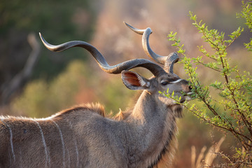 Foto op Plexiglas Antilope Mature kudu bull with large curled horns eat from thorn tree