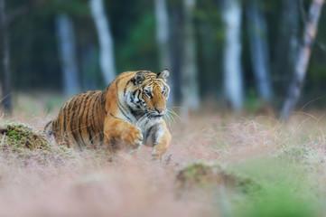 Siberian tiger jumping in wild taiga. Siberian tiger, Panthera tigris altaica