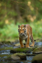 Siberian tiger on the stone next to forest stream. Panthera tigris altaica
