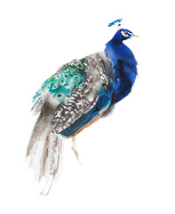 Peacock bird male  sitting posing watercolor painting illustration isolated on white background