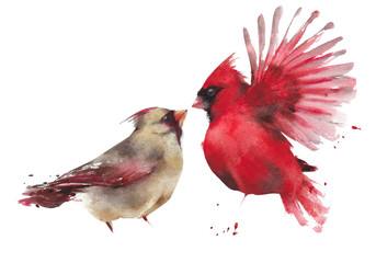 Bird couple northern cardinal male female watercolor painting illustration isolated on white background