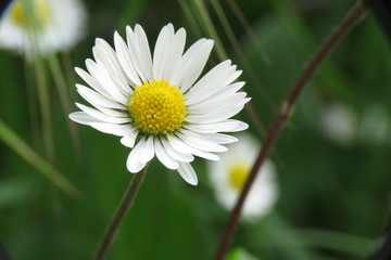A daisy flower macro photo with green background, stock photo, Stock image