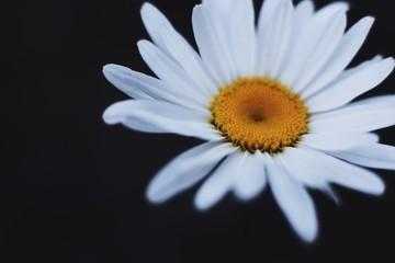 Closeup on  white chamomile flower on black background.