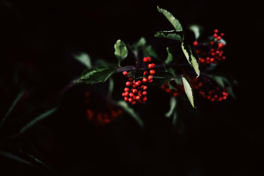 Red berries with leaves on branch