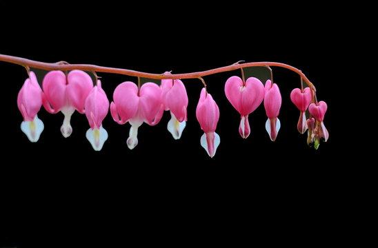 Bleeding heart flower isolated on black background. Bleeding heart, Lamprocapnos spectabilis, in spring.