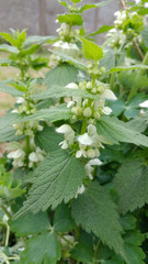 White Nettle (Lamium album)