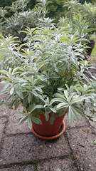 White Sagebrush (Artemisia ludoviciana) in a flowerpot