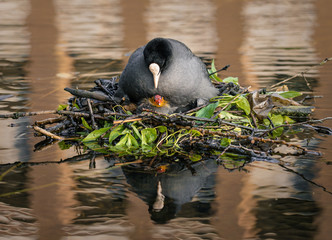 Eurasian Coot looking at its chick on the nest