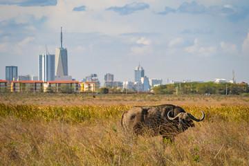 Buffalo in Nairobi national park, Nairobi skyscrapers in the background Wall mural