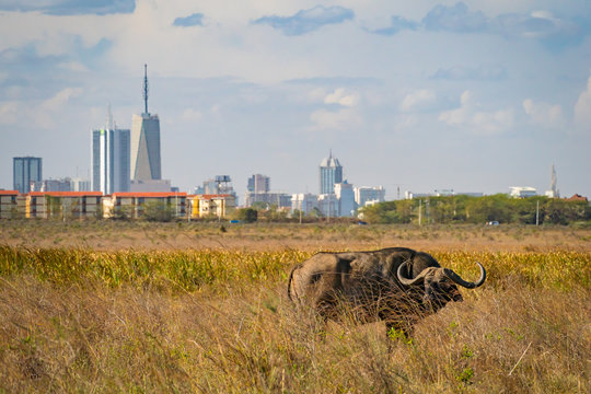 Buffalo in Nairobi national park, Nairobi skyscrapers in the background