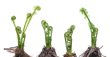 Matteuccia struthiopteris or Fiddlehead fern isolated on white background. General view of group of plants with young green fronds in early spring