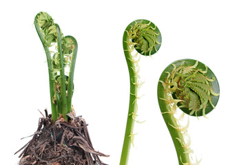 Matteuccia struthiopteris or Fiddlehead fern isolated on white background. General view of plant in early spring and young green frond