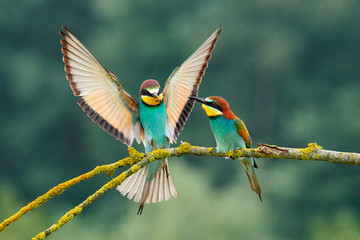 European bee-eater (Merops apiaster). Fotoväggar