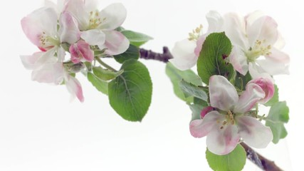 Fotoväggar - Apple Spring flowers opening. Beautiful Spring Apricot tree blossom open timelapse, extreme close up. Time lapse of Easter fresh pink blossoming apples closeup isolated on white. Blooming 4K UHD video