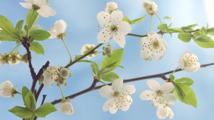 Fotoväggar - Beautiful Spring Cherry tree flowers blossom timelapse, close up. Time lapse of Easter fresh white blossoming cherry on blue background closeup. Nature. 4K UHD video 3840X2160
