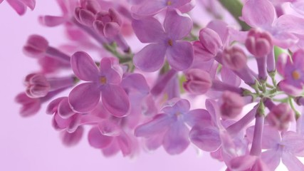 Klistermärke - Lilac flowers bunch background. Beautiful opening violet Lilac flower Easter design closeup. Beauty fragrant tiny flowers open closeup. Nature blooming flowers backdrop. Time lapse 4K UHD video