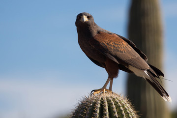 Harris's Hawk - Arizona Bird Watching - Raptor Predator Carnivore Desert Wildlife Fotoväggar