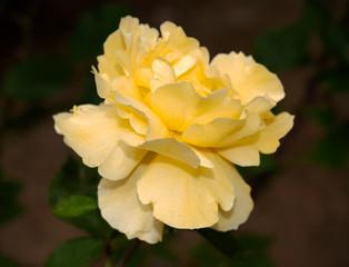 Mellow Yellow Rose Flower