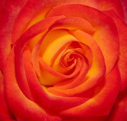 Perfect Moment Rose Closeup