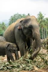 elephants sri lanka