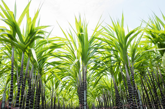 farm of sugar cane tree
