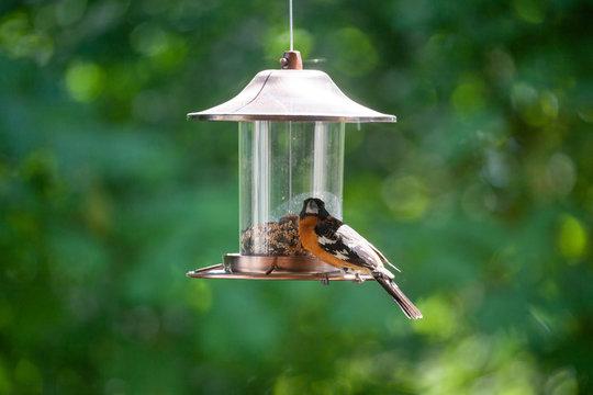 Black-headed Grosbeak or Pheucticus melanocephalus  on the bird feeder