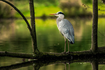 Grey heron standing on a fallen tree branch in the water