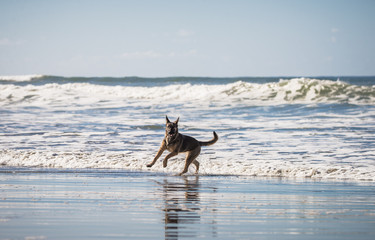 Happy German Shepherd dog running and playing on the beach in California