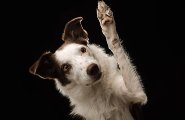 Border Collie against a black background waving at the camera
